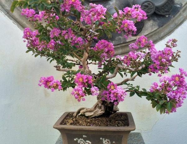 Cuidados del árbol de Júpiter - Cuidados del árbol de Júpiter bonsái