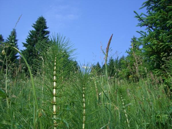 Plantas sin semillas: características y ejemplos - Plantas vasculares sin semillas: ejemplos de plantas pteridofitas