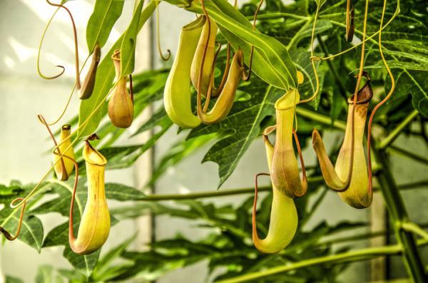 9 tipos de plantas carnívoras - Nepenthes