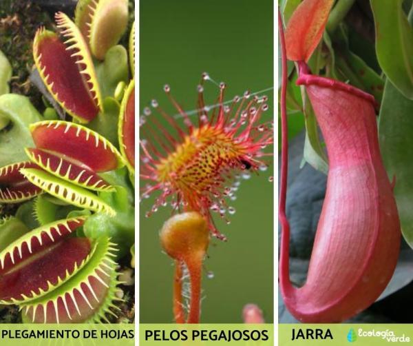 9 tipos de plantas carnívoras - Tipos de plantas carnívoras - lista de nombres y ejemplos