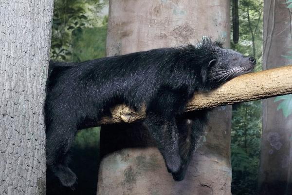 Animales que viven en los árboles - Binturong