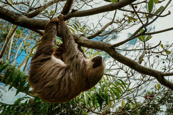 Animales que viven en los árboles - Perezoso