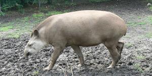 Por qué el tapir está en peligro de extinción
