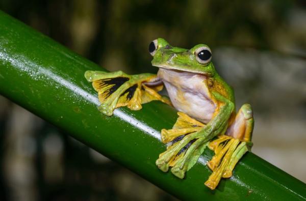 Animales que viven en los árboles - Rana voladora de Wallace