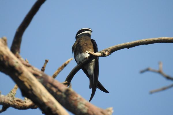 Animales que viven en los árboles - Vencejo arborícola