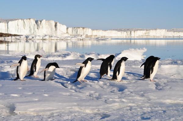 10 aves que no vuelan - Pingüinos (Spheniscidae)