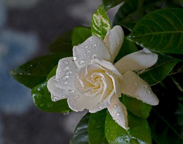 Cuidados de la gardenia - Riego de las gardenias