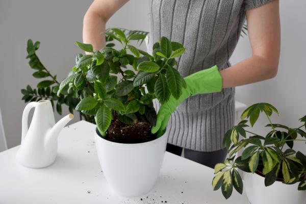 Cuidados de la gardenia - Suelo