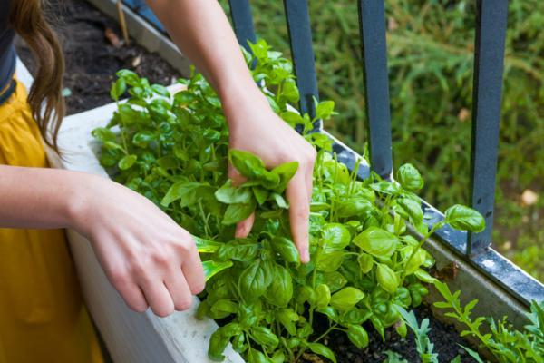 Cómo sembrar y plantar la albahaca - Cómo cuidar la albahaca y cultivarla