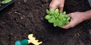 Cómo sembrar y plantar la albahaca