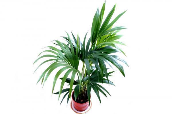 Tipos de plantas de interior grandes - Kentia
