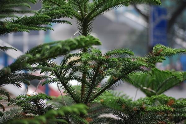 Tipos de plantas de interior grandes - Pino Norfolk
