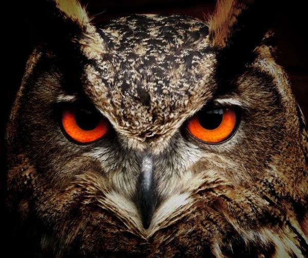 Aves nocturnas: nombres y tipos - Aves nocturnas: clasificación taxonómica