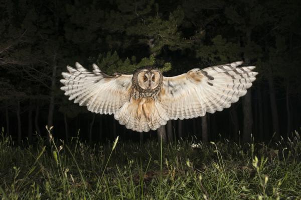 Aves nocturnas: nombres y tipos - Aves nocturnas: nombres de especies