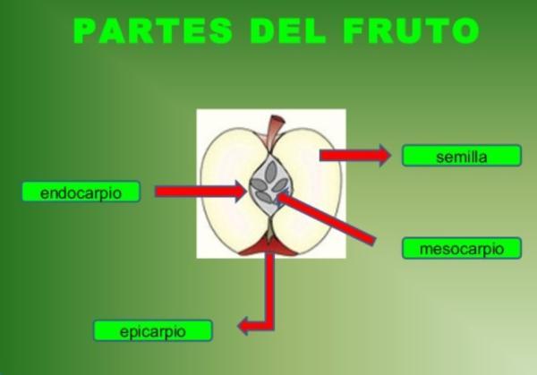 Partes del fruto y sus funciones - El pericarpio del fruto