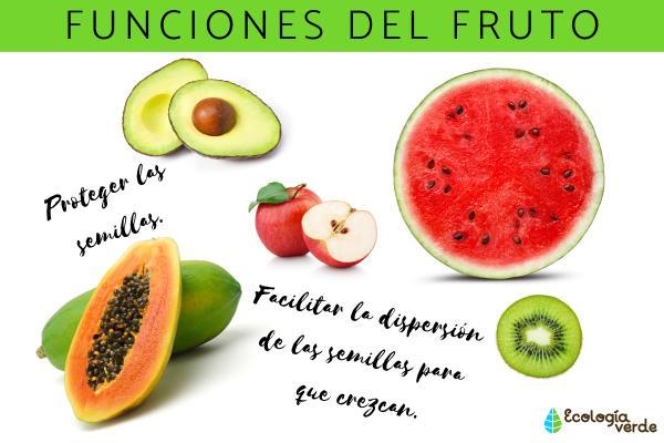 Partes del fruto y sus funciones - Función del fruto y sus características