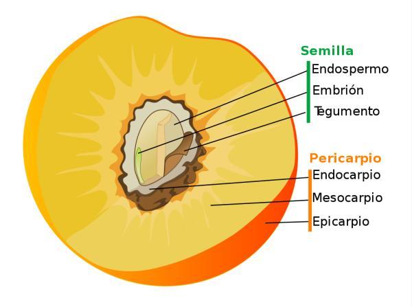 Partes del fruto y sus funciones