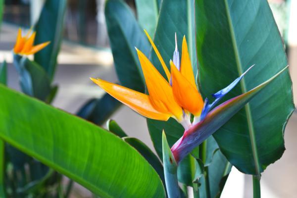 25 plantas de interior altas - Ave del paraíso