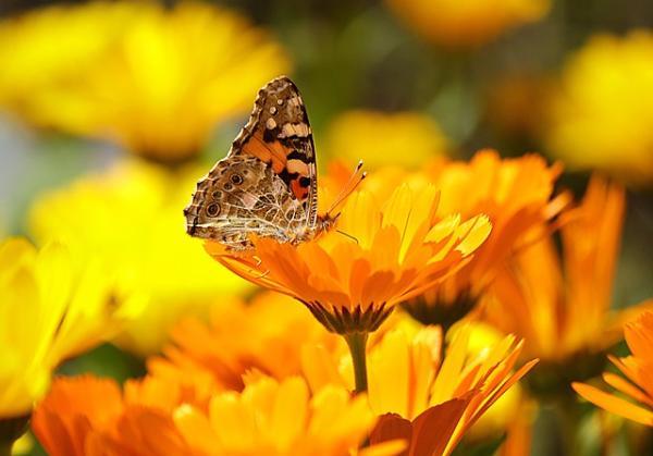 Tipos de plantas aromáticas y medicinales - Cempasúchil (Tagetes erecta) y caléndula (Calendula officinalis)
