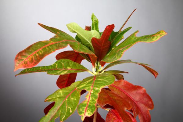 25 plantas de interior altas - Croton