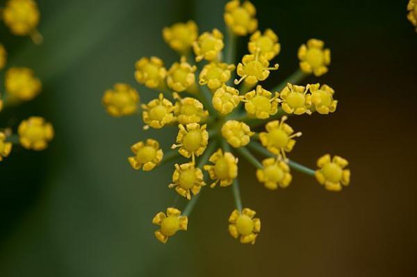 Tipos de plantas aromáticas y medicinales - Hinojo (Foeniculum vulgare)
