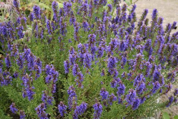 Tipos de plantas aromáticas y medicinales - Hisopo (Hyssopus officinalis)