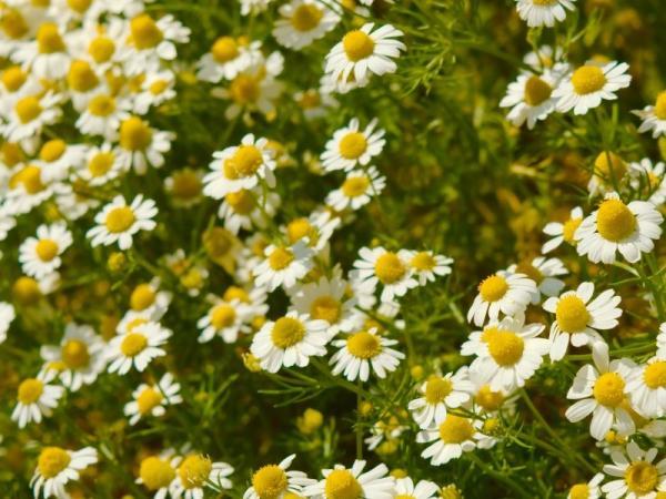 Tipos de plantas aromáticas y medicinales - Manzanilla (Matricaria sp.)