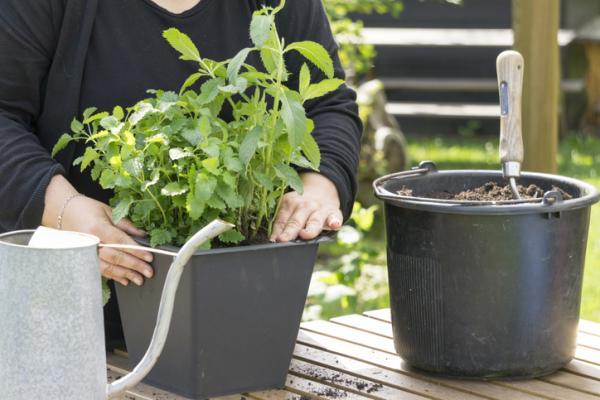 Tipos de plantas aromáticas y medicinales - Menta (Mentha sp.)