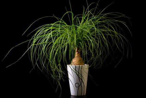 25 plantas de interior altas - Nolina