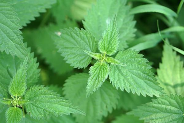 Tipos de plantas aromáticas y medicinales - Ortiga mayor (Urtica dioica)