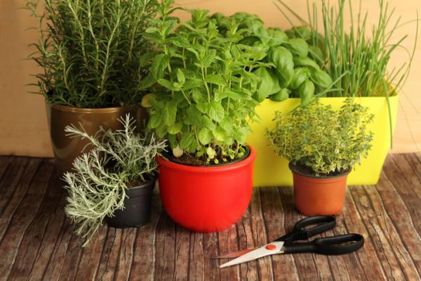 Tipos de plantas aromáticas y medicinales