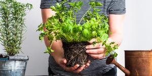 Cómo plantar perejil