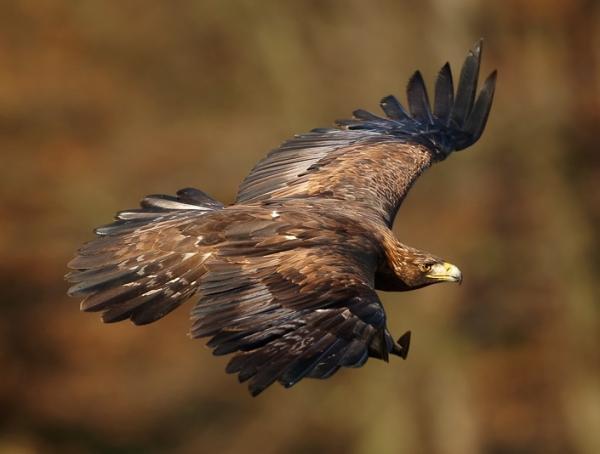 112 aves de rapiña o rapaces: tipos, nombres y fotos - Águila real (Aquila chrysaetos)