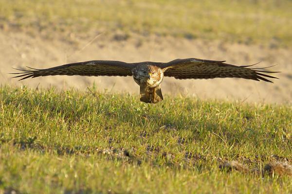 112 aves de rapiña o rapaces: tipos, nombres y fotos - Busardo ratonero (Buteo buteo)