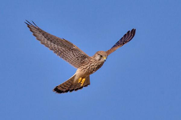 112 aves de rapiña o rapaces: tipos, nombres y fotos - Cernícalo vulgar (Falco tinnunculus)