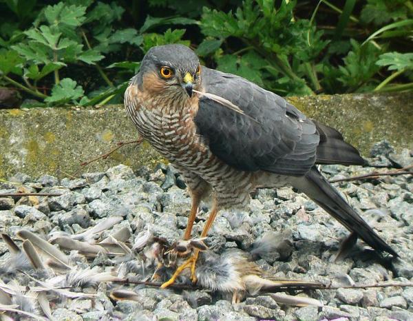 112 aves de rapiña o rapaces: tipos, nombres y fotos - Gavilán común (Accipiter nisus)