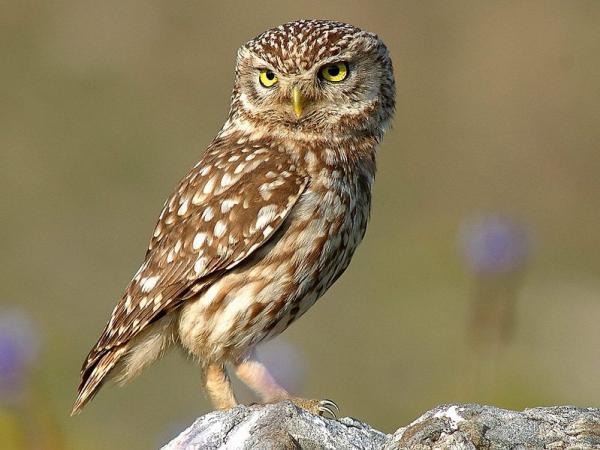 112 aves de rapiña o rapaces: tipos, nombres y fotos - Mochuelo europeo (Athene noctua)