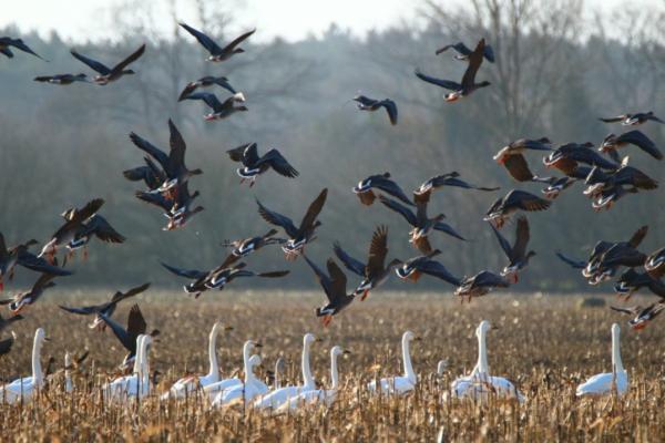 Aves migratorias: nombres y fotos