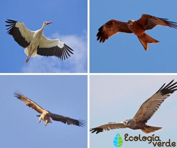 Aves migratorias: nombres y fotos - Nombres de aves migratorias con fotos