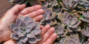 Plantar suculentas: cómo hacerlo