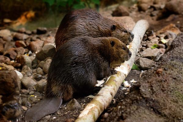Animales monógamos: qué son y lista con ejemplos - Castor