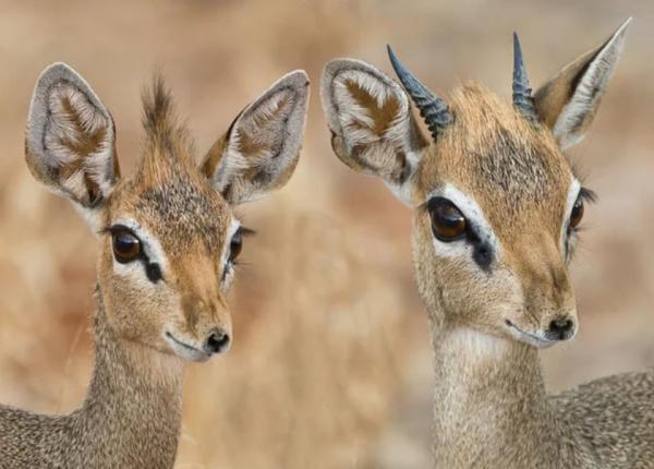 Animales monógamos: qué son y lista con ejemplos - Dik dik