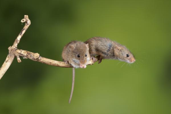 Animales monógamos: qué son y lista con ejemplos - Ratón de campo