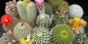 Cuidados de un cactus