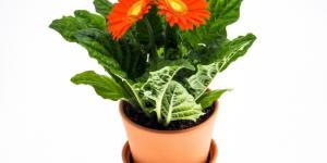 Planta gerbera: cuidados y significado