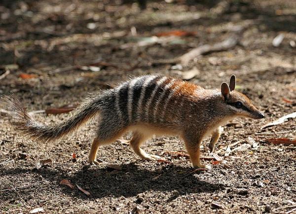 Qué son los animales marsupiales y ejemplos - Ejemplos de animales marsupiales