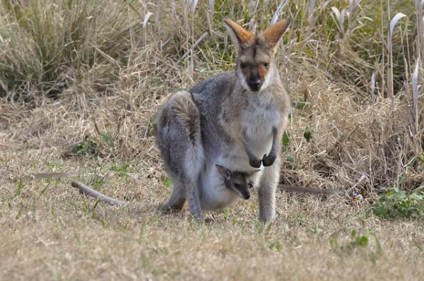 Qué son los animales marsupiales y ejemplos - Qué son los animales marsupiales