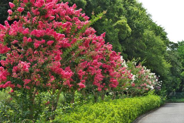 20 árboles ornamentales - Árbol de Júpiter