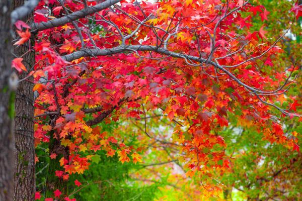 20 árboles ornamentales - Arce de Canadá