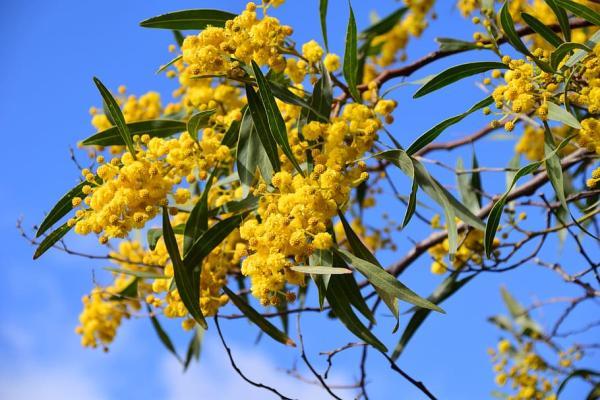 20 árboles ornamentales - Mimosa, uno de los árboles ornamentales más usados